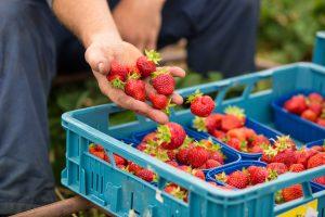 Gemüsehof Wilms - Frische Erdbeeren direkt für den Verkauf