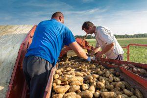 Gemüsehof Wilms - Kartoffelroder