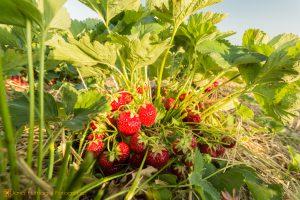 Erdbeerpflanze auf dem Feld